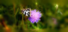 Un brin de nature (Didier HEROUX) Tags: france alps flower annecy nature fleur alpes wow butterfly photography raw vert papillon mauve alpi extrieur aile balade profondeurdechamp didierheroux herouxdidier