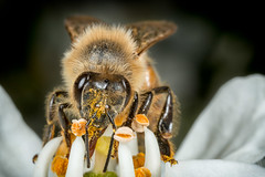 Bee Working  IMG_9941_5 (fredpiv) Tags: macro closeup canon bug bee abeille apis 70d canonmpe65 canonfrance canoneos70d canon70d naturalinsect insectesnaturels