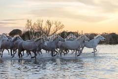 40080881 (wolfgangkaehler) Tags: sunset horse france water french europe european wetlands marsh herd marshland wetland eveninglight camargue southernfrance marshlands 2016 camarguehorses