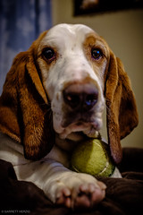 5/2/16 Day 201 (GarrettHerzig) Tags: dog fuji henry basset bassethound 365project floppydog x100t fujix100t