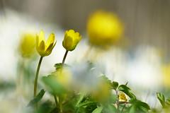 Svalrt (evisdotter) Tags: flowers macro nature yellow spring bokeh blommor lessercelandine sooc ficariaverna svalrt