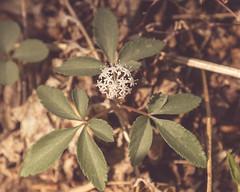 Dwarf Ginseng (RoseKAnderson) Tags: nature woodland wildflowers forests nativeplants naturephotography baltimorecounty dwarfginseng marylandwildflowers roseanderson