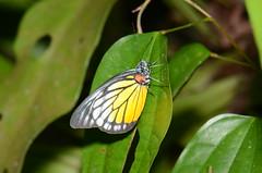 DSC_4956 (Pasha Kirillov) Tags: lepidoptera pieridae taxonomy:order=lepidoptera taxonomy:family=pieridae