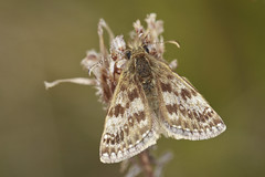 Butterfly - Dingy Skipper (Prank F) Tags: macro nature closeup butterfly insect wildlife skipper dingy wildlifetrust twywellhillsdales northantsuk