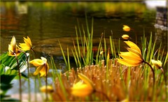 May Day in yellow (farmspeedracer) Tags: park flower reflection yellow germany garden spring pond sunday may amarillo gelb blume