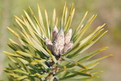 Pinetree2 (modestmoze) Tags: brown white black green nature yellow pinetree outside outdoors grey spring stem nikon warm day shadows bokeh sunny fresh bloom spikes lithuania blooming 2016 alytus 500px