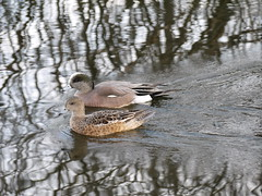 American Wigeon 4 ( breeding & ) (geodeos) Tags: male bird nature animal female adult anas americanwigeon anatidae breedingplumage anseriformes anasamericana ducksgeeseswans ducksgeeseswansscreamersmagpiegeese