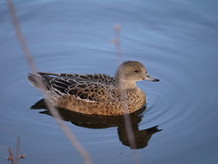 American Wigeon 3 () (geodeos) Tags: bird nature animal female adult anas americanwigeon anatidae anseriformes anasamericana ducksgeeseswans ducksgeeseswansscreamersmagpiegeese