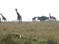 2015-11-08-07.13.23 (rev411jt) Tags: giraffe nairobinationalpark porini gamewatchers