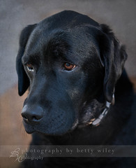 Sad lab (betty wiley) Tags: black texture labradorretriever bella flypaper bettywileyphotography
