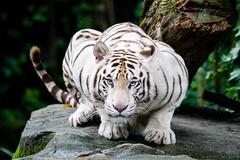 White Tiger (dawvon) Tags: travel nature animals cat singapore asia southeastasia bigcat sg whitetiger singaporezoo bengaltiger republicofsingapore pantheratigristigris zoophotography royalbengaltiger whitebengeltiger