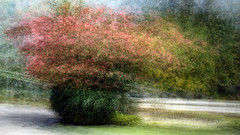 20151227-_DSC7617.jpg (Stephen D'Agostino) Tags: painterly tree stlucia intheround bougainvilleas photoimpressionism