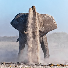 Elephant taking a Dustbath I, colour version (Denis Roschlau Photography) Tags: africa travel elephant nature mammal outdoors dusk wildlife conservation safari huge trunk remote botswana wilderness dust waterhole powerful impressive tusk naturephotography southernafrica dustbath nxai nxaipan nopoaching