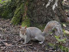 squirel (dawn.v) Tags: uk england animal furry dorset urbanwildlife february bournemouth squirel 2016 bournemouthgardens lumixlx100 116photosin2016