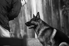 Dog Garden BW (FurtiveOutsider) Tags: blackandwhite bw dog pet white black garden mono shepherd german alsatian