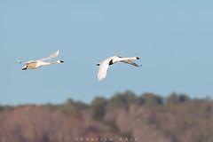 Take me to the tundra (Khurram Khan...) Tags: winter wild ilovenature swan wildlife migration chesapeakebay tundraswan cygnuscolumbianus wildlifephotography ilovewildlife iamnikon khurramsphotography khurramkhan