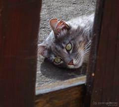 Mr. Doraemon and His Thoughts (gjaviergutierrezb) Tags: cats pets animal animals cat gatos gato animales mascota mascotas flickrcats internetcats