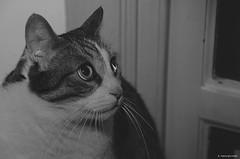 In allerta... (atlantid_e) Tags: gatto bianconero animali animalidomestici