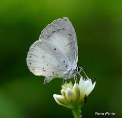 White Hedge Blue ( Udara akasa mavisa) (RamaWarrier) Tags: tamara coorg virajpet kabbinakad
