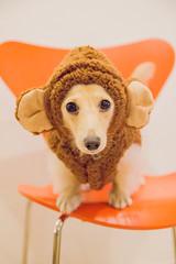 IMG_3375 (yukichinoko) Tags: dog dachshund 犬 kinako ダックスフント ダックスフンド きなこ