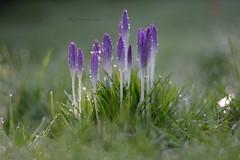 (gewoon-marieke) Tags: blur nature grass 50mm nikon purple bokeh crocus d7100