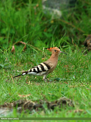 Common Hoopoe (Upupa epops) (gilgit2) Tags: pakistan birds fauna canon geotagged wings wildlife feathers sigma tags location species category upupaepops avifauna gilgit gilgitbaltistan sigma150500mmf563apodgoshsm imranshah canoneos70d jutial commonhoopoeupupaepops gilgit2