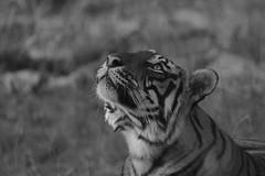 Deep In Thoughts (varmarohit) Tags: wild india wildlife tiger wilderness rohit rajasthan ranthambore wildlifephotography wildindia royalbengaltiger royaltiger tigerimage wildlifephotograph rohitvarma