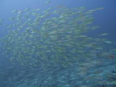 Fish (Yuxuan.fishy.Wang) Tags: hawaii us unitedstates scuba diving kailuakona