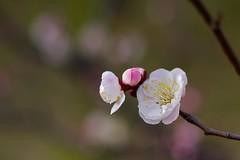 Prunus mume (Jim Mayes) Tags: digital canon eos 50mm ef  ef50mmf18stm