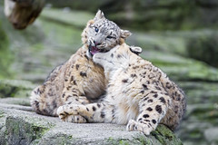 Biting the brother in the neck! (Tambako the Jaguar) Tags: wild two playing rock stone cat fun zoo cub switzerland big nikon action young fluffy basel biting together fighting lying snowleopard attacking d4 uncia