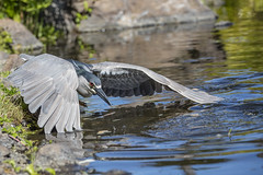 Count Dracula (Peter Stahl Photography) Tags: heron water fishing pond hawk maui blackcrownednightheron blackcrowned