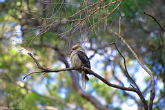 Kookaburra in the trees (chogokinjawa) Tags: bird nature nikon dof bokeh wildlife sigma australia oiseau westernaustralia kookaburra australie naturephotography birdphotography sigmalens nikondslr profondeurdechamp nikond90 mynaturalworld augustawesternaustralia sigma18250mmf3563 sigmamacrohsm