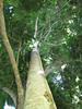 starr-091104-9142-Castanospermum_australe-trunk_and_canopy-Kahanu_Gardens_NTBG_Kaeleku_Hana-Maui (Starr Environmental) Tags: castanospermumaustrale
