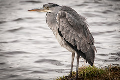Grey Heron (EricHarden) Tags: bird heron water scotland nikon fife loch d300 greyheron 18200mm kinghornloch