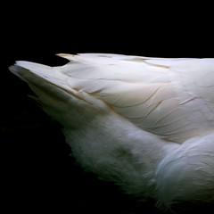 学名: Anser anser (yoshinori.okazaki) Tags: white bird square goose anser 動物 鳥 白 モノクロ アヒル 羽 ガチョウ お尻 スクエア pentaxart モフモフ