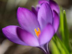 Krokus (H - D - O) Tags: sunlight spring purple crocus lila krokus nahlinse closeuplens sonnenlicht gx7 sigma60mm