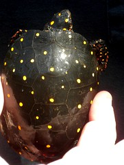 a spotted turtle. (Just Back) Tags: black sc yellow reptile shell spots carolina alive biology herp wetland schildkrte plastron carapace clemmysguttata herptile colleton maculations