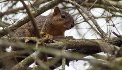 Curious Squirel (Inkeytheshutterbug) Tags: squirel