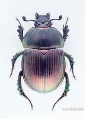 Phelotrupes(Chromogeotrupes) auratus auratus (Motschulsky,1857)14 (kenta_sawada6469) Tags: nature colors insect japanese metallic beetle insects beetles specimen jewel coleoptera dungbeetle scarabaeoidea
