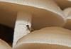 Female micro wasp Braconidae searching filoboletus mushroom for somewhere to lay her egg P1370797 (Steve & Alison1) Tags: beach mushroom female rainforest wasp hole egg her micro gill airlie depositing braconidae filoboletus