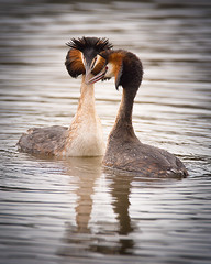 _8101771 Great Crested Grebe Courtship (Walks Walker) Tags: ocean uk sea orange brown white lake black bird eye water animal horizontal swimming swim river neck point grey dance high fishing fisherman stream sailing head ripple touch great wing performance beak cream feather floating wave reservoir lancashire sharp walker buff sail crown ritual perform held elegant float crested tuft grebe courting pointed erect elegance plumage courtship aloft grebes podiceps cristatus podicipedidae thewalkertouch walkertouch