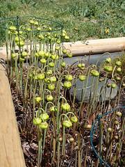 Sarracenia flava varieties (Pitcher Plants) in bud (jimf_29605) Tags: southcarolina olympus greenville pitcherplant varieties sarraceniaflava tg3 frontyardboggarden