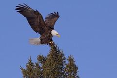0A8A7433 (onegreatcity55) Tags: canada nature canon wildlife manitoba gimli assiniboinepark oakhammockmarsh lakewinnipeg ftwhyte