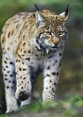 Concentrated lynx walking (Tambako the Jaguar) Tags: wild portrait face grass cat walking zoo switzerland nikon feline european tierpark lynx d4 concentrated arthgoldau goldau