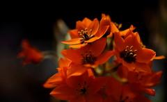 flower 666 (kaifudo) Tags: orange flower macro japan sapporo nikon hokkaido sigma 北海道 d750 botanicalgarden 札幌 150mm 北大植物園 sigmaapomacro150mmf28 kaifudo ornithogalumdabium オルニトガム ドゥビウム