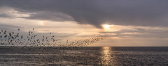 Murmuration 2 (cottagearts123) Tags: sunset sea dog sun storm norfolk knots sundog murmuration snettisham