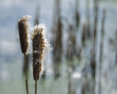 New Beginnings (Fourteenfoottiger) Tags: plants nature water reeds pond dof seeds papyrus airborne downy waterway velvety bulrushes sedge waterplant booked clubrush