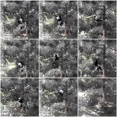 Up and Down a Tree (heights.18145) Tags: panda treeclimbing beibei smithsoniansnationalzoo ccncby