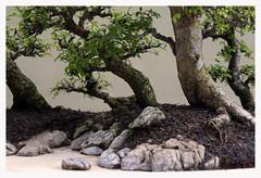 Bonsai - Penjing (R. Drozda) Tags: tree washington bonsai federalway penjing chineseelm groupplanting drozdadrozda pacificbonsaimuseum