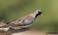 Namaqua Dove    Explored (ALJUFAIN KUWAITI) Tags: dove kuwait jahra namaqua  aljufainkuwaiti aljufain